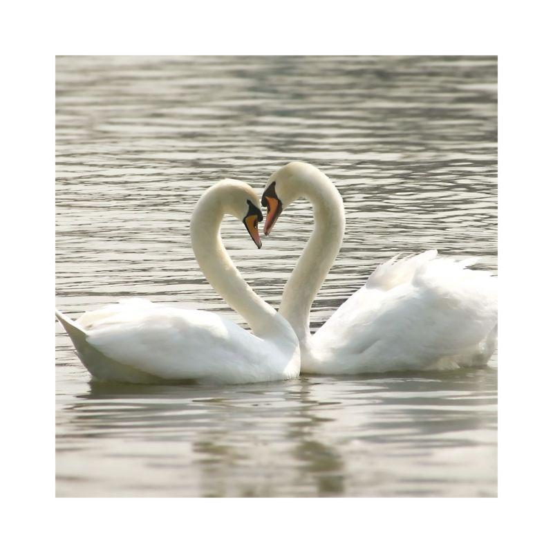 Swans Day Invitation   Wedding Invitations